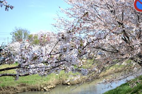 矢那川桜2