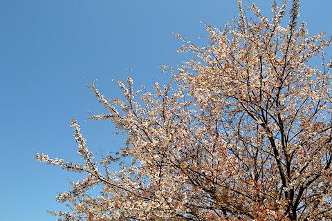矢那川桜1