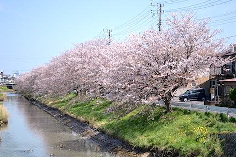 矢那川桜4
