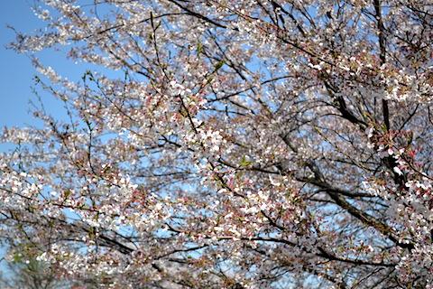 矢那川桜3