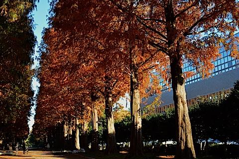 紅葉並木11