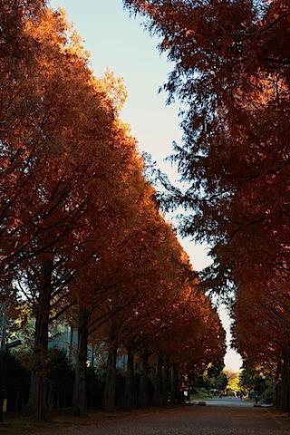 紅葉並木16