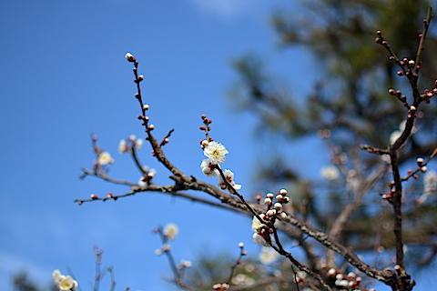 梅の花02