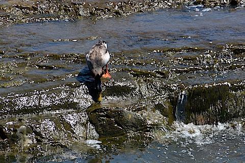 ビビってる鴨1