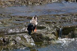 ビビってる鴨2