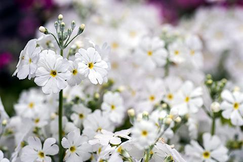 近所の花06