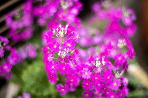 近所の花17