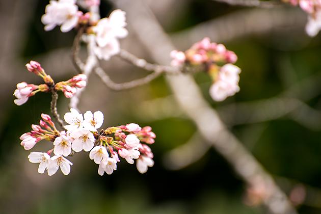 山滝野春の花01