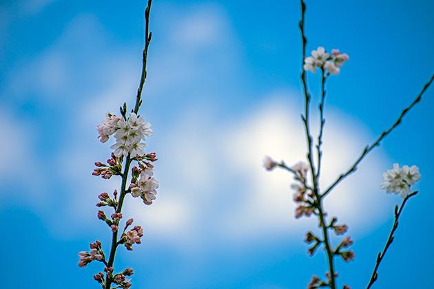 山滝野春の花04