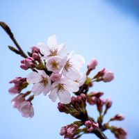 山滝野春の花06