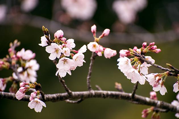 山滝野春の花09