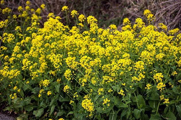 山滝野春の花11