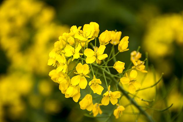 山滝野春の花12