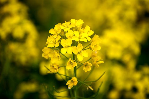 山滝野春の花15