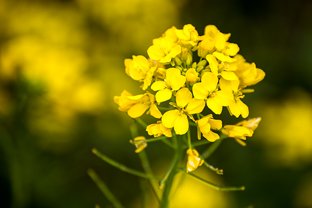 山滝野春の花16
